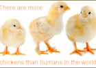 more-chickens-than-people